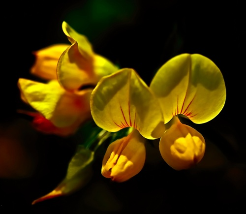 Lotus Cornitulacus ...