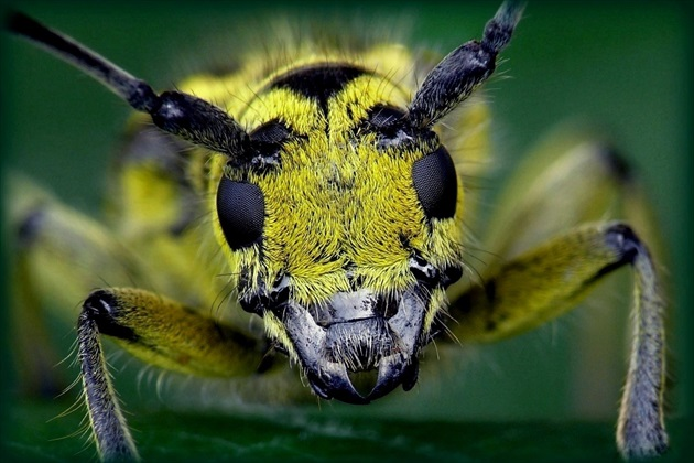 ... Long-horned Beetle