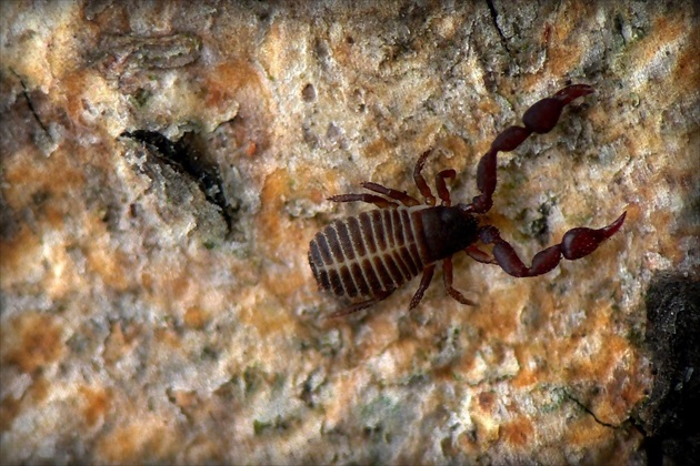 ... House Pseudoscorpion