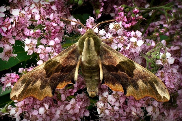 ... Lime Hawk-moth