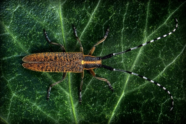 ... Golden-bloomed Grey Longhorn