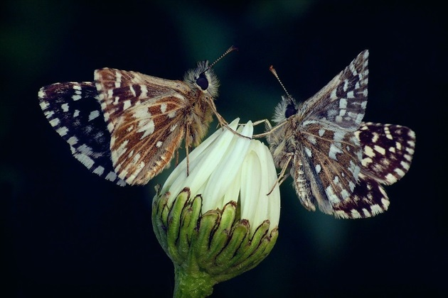... Grizzled Skipper