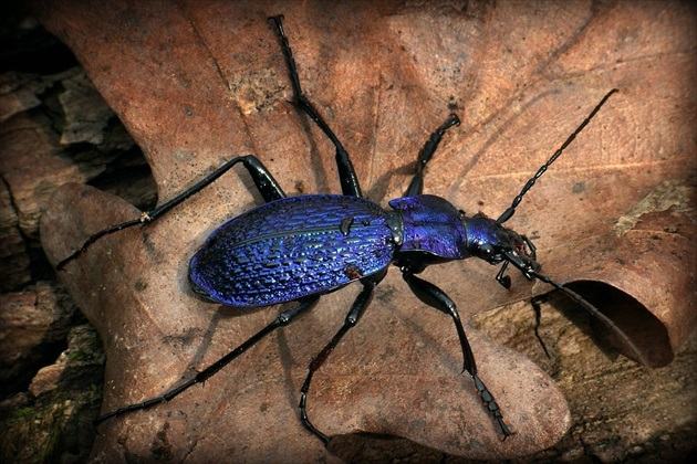... Blue Ground Beetle