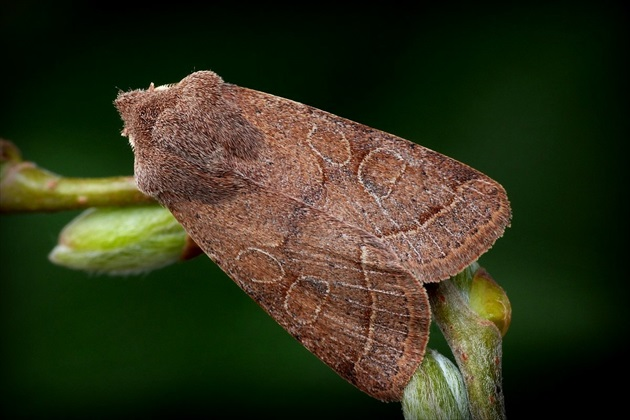 ... Common Quaker