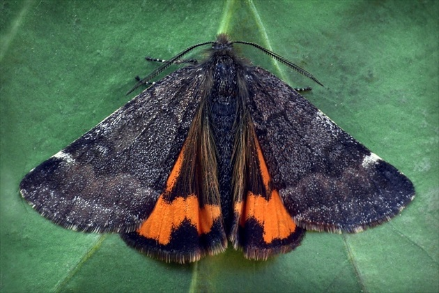 ... Light Orange Underwing