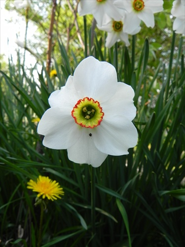 biely narcis