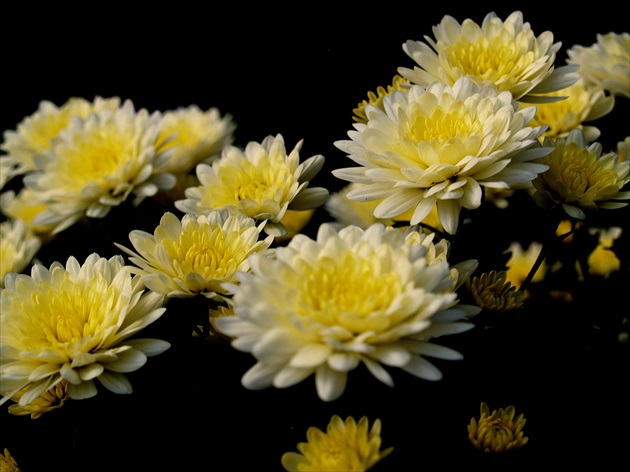 White-yellow chrysanthemums