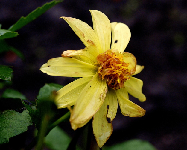 Yellow dahlia II.