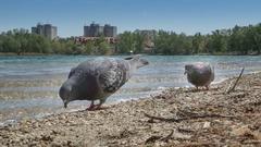 na pobreží striehnu holuby...