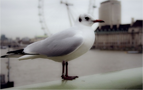 a london seagull