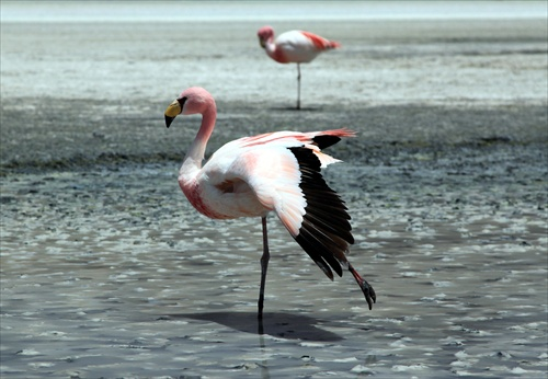 James's Flamingo- balet:)