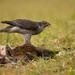 Accipiter gentilis (jastrab veľký)