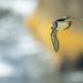Fratercula arctica (alka bielobradá)