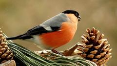 a samček hýľa má krátky zobáčik ...