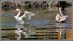 mladé labute a odrazy na hladine ...