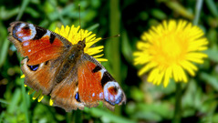 motýľová